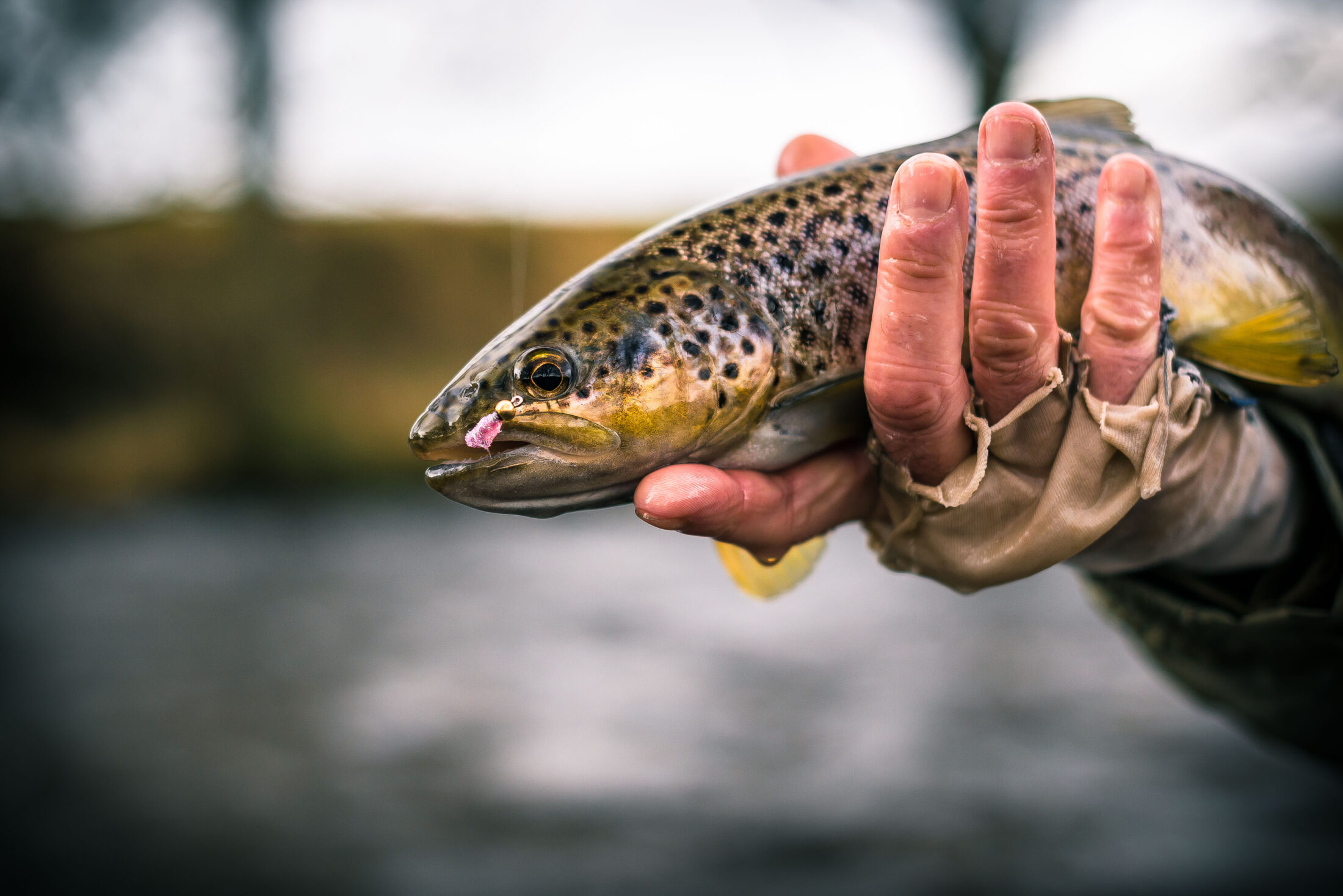 A beautiful brown trout caught in Wales by/and photographed for renowned fly fisherman Kim Tribe